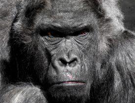 gorilla-752875_960_720