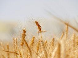 wheat-3120580_640