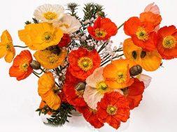 poppies-1631682_640